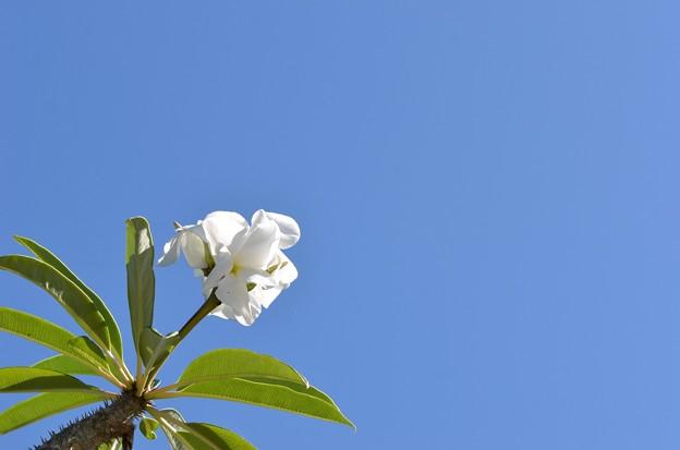 Photos: Madagascar Palm I 5-28-17