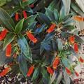 Seemannia sylvatica III 5-28-17