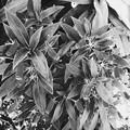 Photos: Seemannia sylvatica I 5-28-17