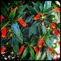 写真: Seemannia sylvatica II 5-28-17