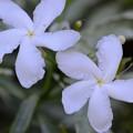 Crepe Jasmine I 6-25-17
