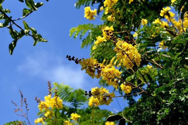 Photos: Yellow Poinciana 6-25-17