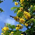 写真: Yellow Poinciana 6-25-17