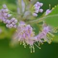 写真: Beatyberry I 7-15-17