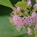 Beautyberry II 7-15-17