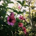 Allamanda cathartica 'Cherries Jubilee' II 7-15-17