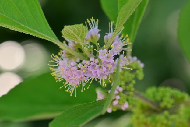 Beautyberry III 7-15-17