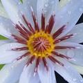 写真: Water Lily I 7-30-17