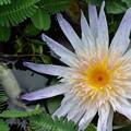 写真: Water Lily II 7-30-17