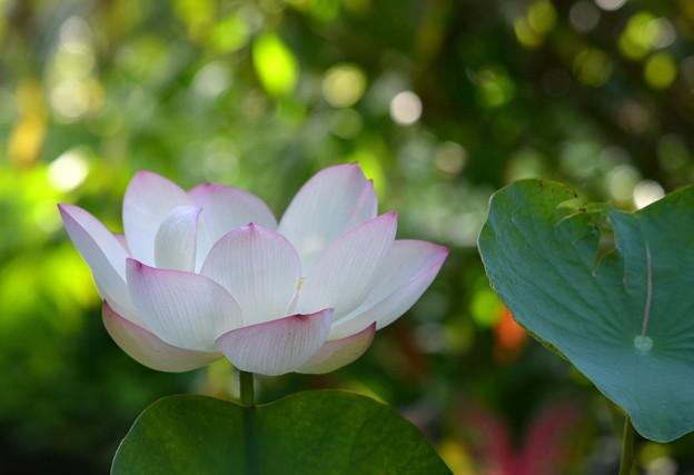 写真: Lotus VI 8-6-17