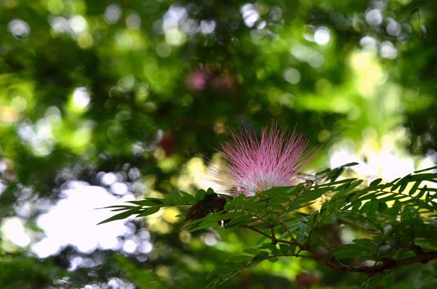 Pink Powder Puff I 7-30-17