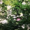 Pink Powder Puff IV 7-30-17