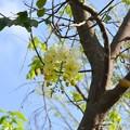写真: White Shower Tree 10-1-17