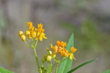 Tropical Milkweed I 10-1-17