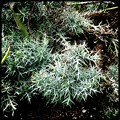 Silver Thicket