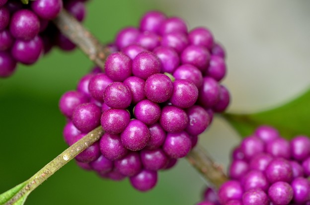 American Beautyberry I 9-3-17