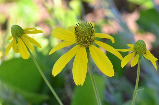Photos: Yellow Coneflowers in the Shade 12-3-17