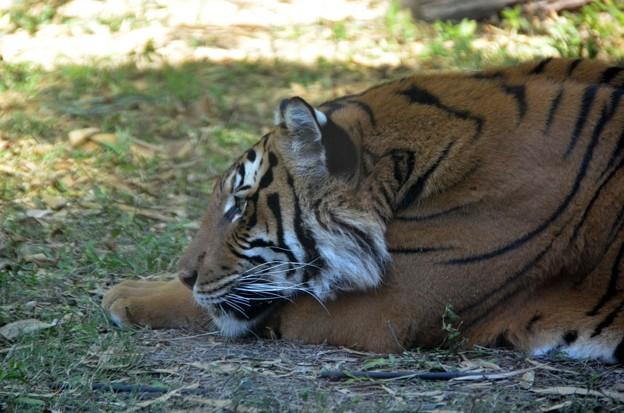 Panthera tigris jacksoni 1-6-18