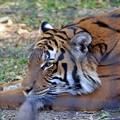 The Eye of a Malayan Tiger 1-6-18