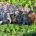 Cheetah 1-6-18