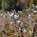 写真: Milkweeds 10-20-17
