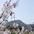 写真: よく晴れた散歩道の桜