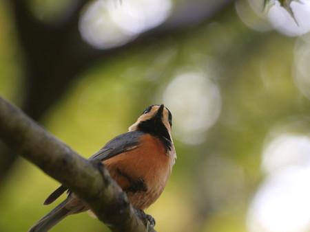10月の深山公園のヤマガラ