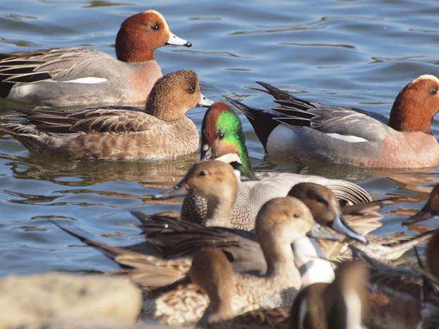 赤松池の鴨の群れとヨシガモヨシガモ