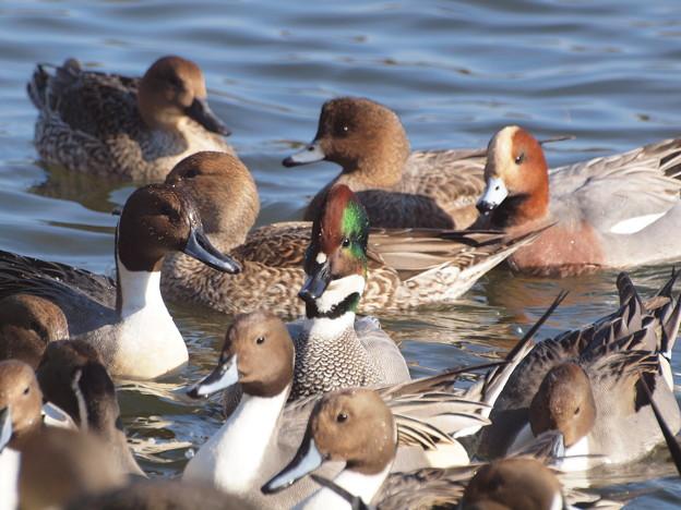 赤丸池の鴨の群れとヨシガモ