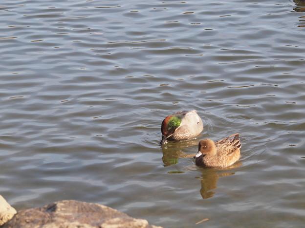 赤松池の鴨の群れとのヨシガモ