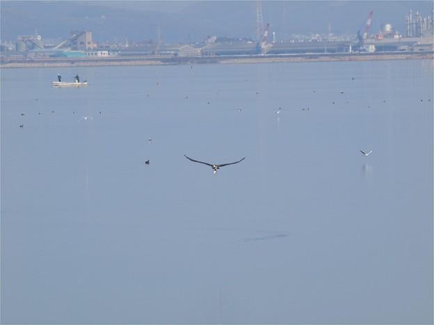 児島湖水面をかすめて飛ぶミサゴ