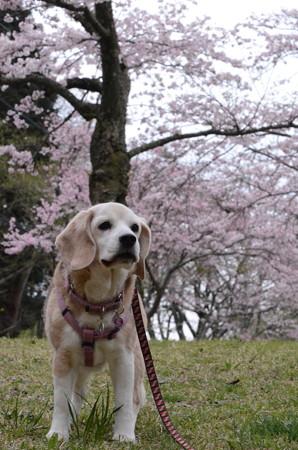 ほんとでちゅ!これ、酷い写真!あたちの頭から桜が生えてまちゅよ!ぷんすか!
