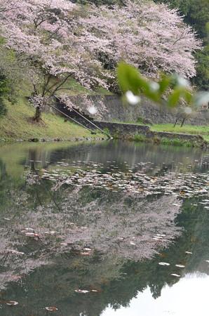 池に映る桜を撮ってみる!