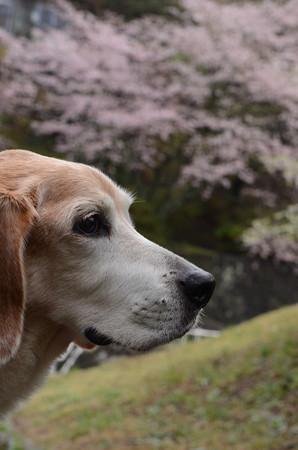 マリン15歳、来年も桜と一緒に撮れるかな?と感慨深くなった