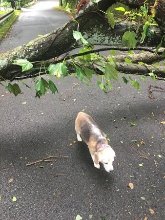 犬は通過(なぜうみちゃんハーネスないんだ?)
