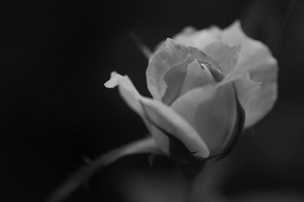 写真: そっと咲きます・・・