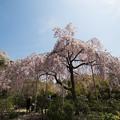 写真: 法金剛院の桜