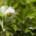 写真: 沙羅の花