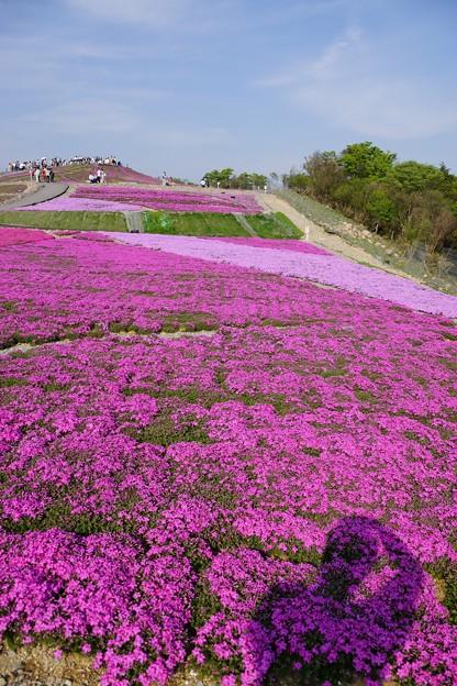 芝桜の丘2