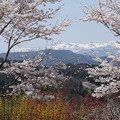 写真: 桜前線