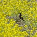写真: 蕪の花畑
