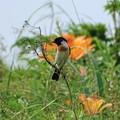 写真: 小清水原生花園