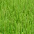 写真: 稲の花が・・・