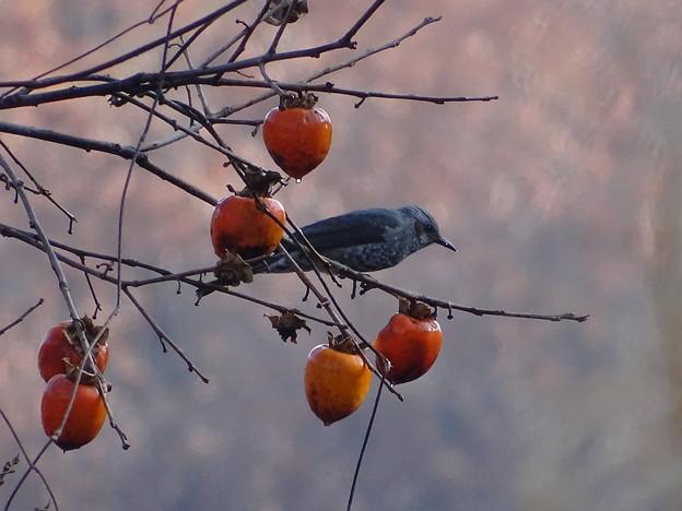 柿の実の熟する頃 1