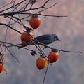 写真: 柿の実の熟する頃 1