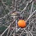 写真: 柿の実の熟する頃 2