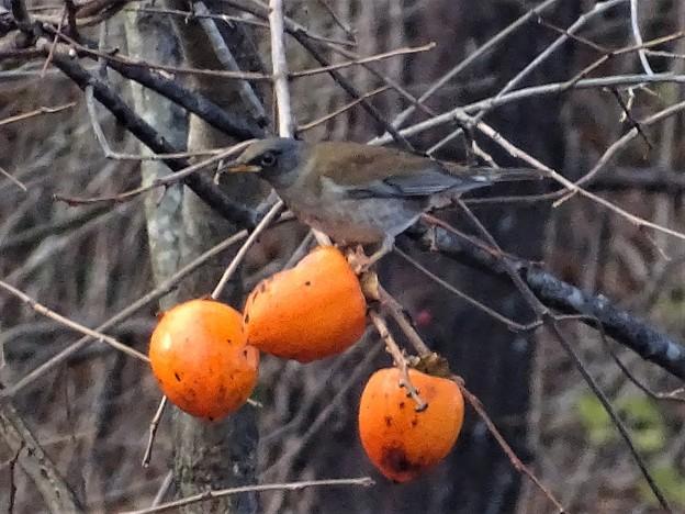 写真: 柿の実の熟する頃 3