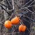 柿の実の熟する頃 3