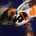 写真: 越後川口SAの鯉