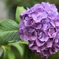 写真: 雨の中の紫陽花